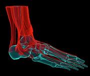 Foot Anatomy, Artwork Print by Andrzej Wojcicki