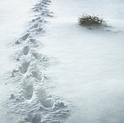 Sonya Kanelstrand Prints - Footsteps in the snow Print by Sonya Kanelstrand