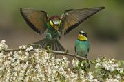 Mating Animals Photos - For A Male Bee-eater, Mating Depends by Joe Petersburger