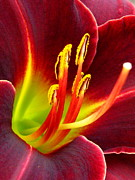 Daylily Framed Prints - For Joseph Framed Print by Marla Ricigliano
