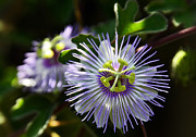 Passion Flower Photos - For Passion  by Saija  Lehtonen