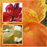 Canna Framed Prints - For the Love of a Canna Framed Print by Sandi Floyd