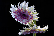 Gerbera Art - for the love of Gerber by Edward Kreis