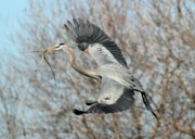 Great Blue Heron Photos - For the Nest Too by Sabrina L Ryan