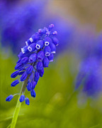 Grape Hyacinths Photos - For You by Jane Brack