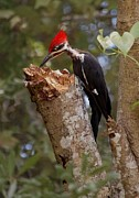 Woodpecker Digital Art Posters - Foraging Pileated Woodpecker Poster by DigiArt Diaries by Vicky Browning