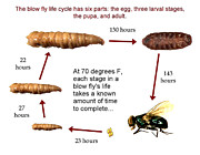 Law Enforcement Posters - Forensic Helper, Life Cycle Of Blow Fly Poster by Science Source