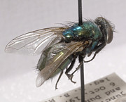 Law Enforcement Prints - Forensic Helpers, Green Blow Fly Print by Science Source