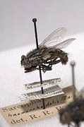 Court Of Law Prints - Forensic Helpers, Red-tailed Flesh Fly Print by Science Source