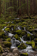 Olympic National Park Prints - Forest Cathederal Print by Mike Reid