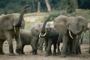 Central African Republic Photos - Forest Elephants In A Herd Sniff by Michael Fay