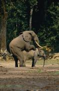 Central African Republic Photos - Forest Elephants Mating by Michael Fay