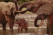 Central African Republic Photos - Forest Elephants With Calf Drink by Michael Fay