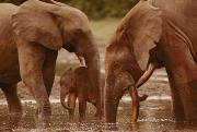 Central African Republic Photos - Forest Elephants With Small Calf Probe by Michael Fay
