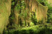 Conifers Prints - Forest Fantasy - Quinault - Gateway to Paradise on the Olympic Peninsula WA Print by Christine Till
