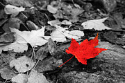 Red Leaves Photo Originals - Forest Floor Maple Leaf by Adam Pender