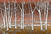 Peach And White Prints - Forest Ghosts Print by Debra and Dave Vanderlaan