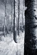 White And Black Landscapes Posters - Forest In The Winter Poster by Richard Wear