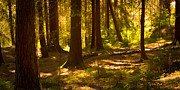 Forest Light Photos - Forest Light by Lutz Baar