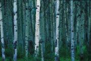 Poplar Forest Photo Metal Prints - Forest Of Poplar Tree Trunks Metal Print by Corey Hochachka