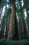 Large Scale Posters - Forest Of Sierra Redwood Trees Poster by Nick Norman