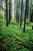 Forest Floor Prints - Forest Scenic Print by Tony Ramos