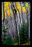 Santa Fe National Forest Framed Prints - Forest Stratas Framed Print by Susanne Still