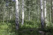 Forever Aspen Trees Print by Madeline Ellis