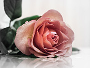 Pink Rose Photos - Forever by Kristin Kreet