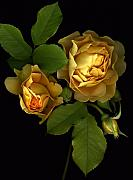 Scanography Photos - Forever Yellow Roses by Deborah J Humphries