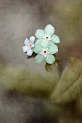 Soft Green Framed Prints - Forget Me Not 03 - s07bt07 Framed Print by Variance Collections