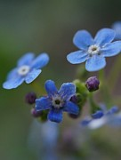 Periwinkle Originals - Forget Me Not by Doug Hubbard