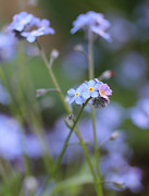 Blue Flowers Photos - Forget-Me-Not Flowers by Jennie Marie Schell