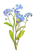 Green Leaves Posters - Forget-me-not flowers on white Poster by Elena Elisseeva