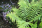 Frond Prints - Forget-me-not Flowers With Ferns Print by Archie Young