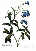 Redoute Photo Posters - Forget-me-not Poster by Granger