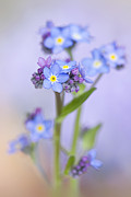 Blue Flowers Photos - Forget-me-not spring by Jacky Parker
