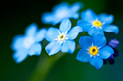Delivery Flowers Prints - Forget Me Not  Print by Venura Herath