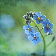 Zealand Posters - Forget-me-nots Flower Poster by Jill Ferry