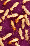 Destructive Art - Formosan Termites by Science Source