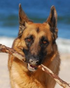 K9 Greeting Cards Photos - Forrest Fetching - German Shepherd Dog by Angie McKenzie