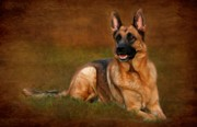 Forrest The German Shepherd Print by Angie Tirado