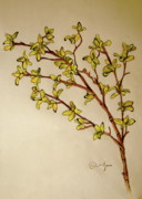 Single Drawings - Forsythia by Emily Jones