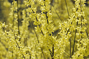 Spring Scenes Posters - Forsythia In Full Bloom Poster by Darlyne A. Murawski