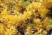 Forsythia Photos - Forsythia Intermedia by Adrian T Sumner