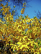 Flowering Trees Framed Prints - Forsythia Framed Print by Susan Savad