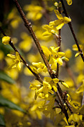 Forsythia Photos - Forsythia by Teresa Mucha