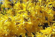 Forsythia Photos - Forsythia by Will Borden
