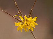 Forsythia Photos - Forsythias by Lara Ellis