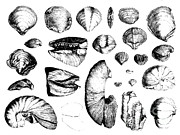 Seashell Art Photo Prints - Fossilized Shells, 1844 Print by Science Source